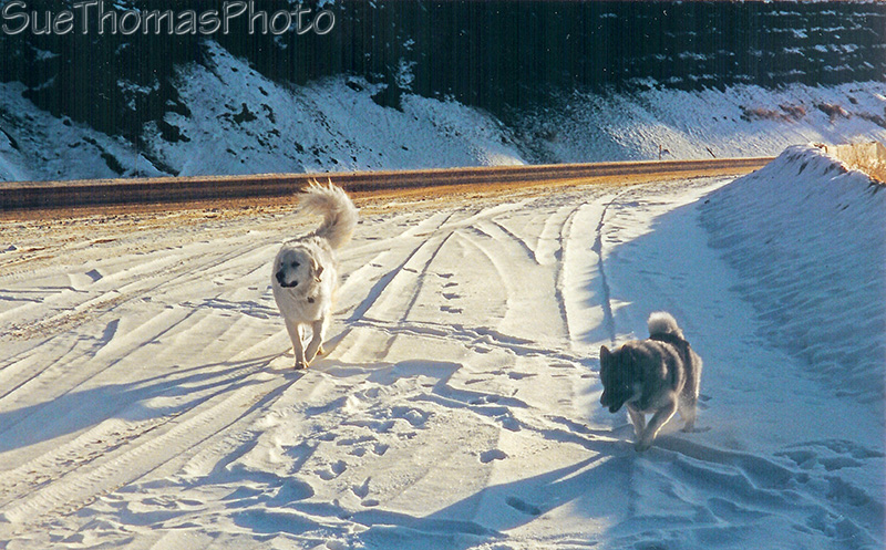 Kuvasz and Norwegian Elkhound on the Alaska Highway