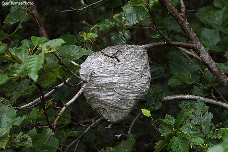 Wasp hive in Chugach National Forest, Alaska