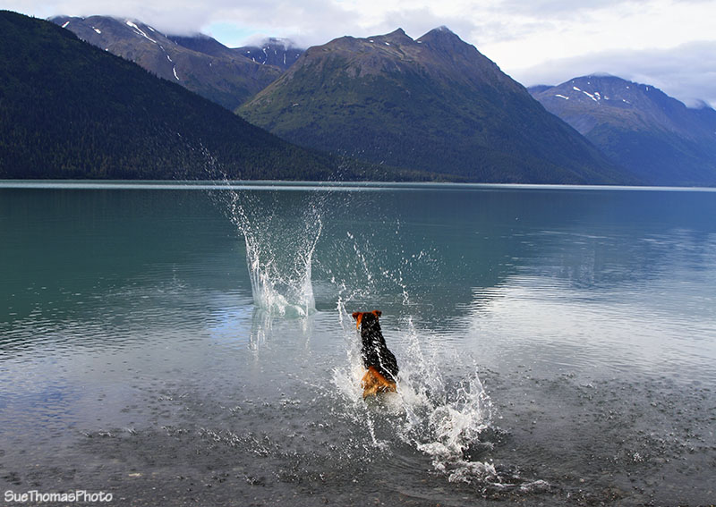 Tazz playing in Kenai Lake, Alaska
