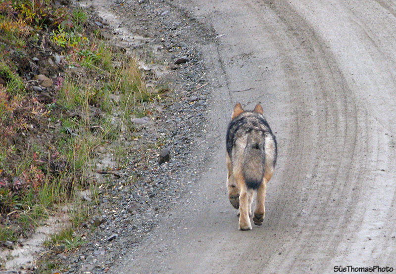 Wolf in Denali National Park, Alaska