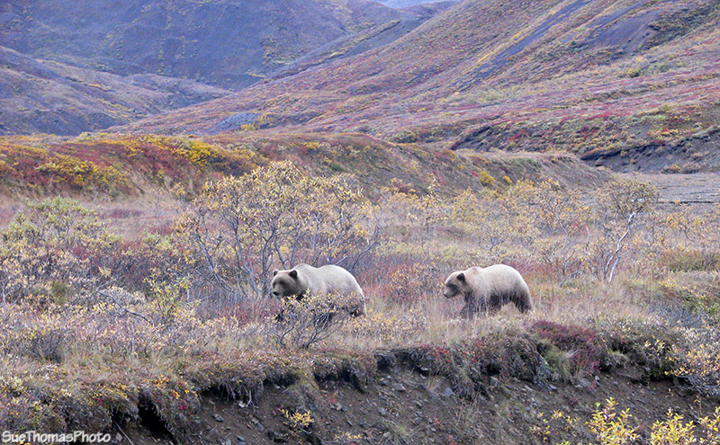 Grizzly Bear and cub in Denali National Park, Alaska