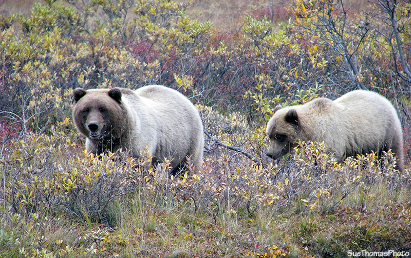 Grizzly bear and cub at Denali National Park, Alaska