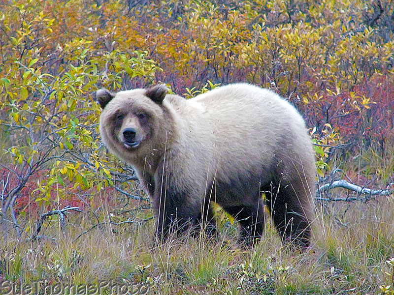 A happy grizzly cub in Denali Nation Park Alaska