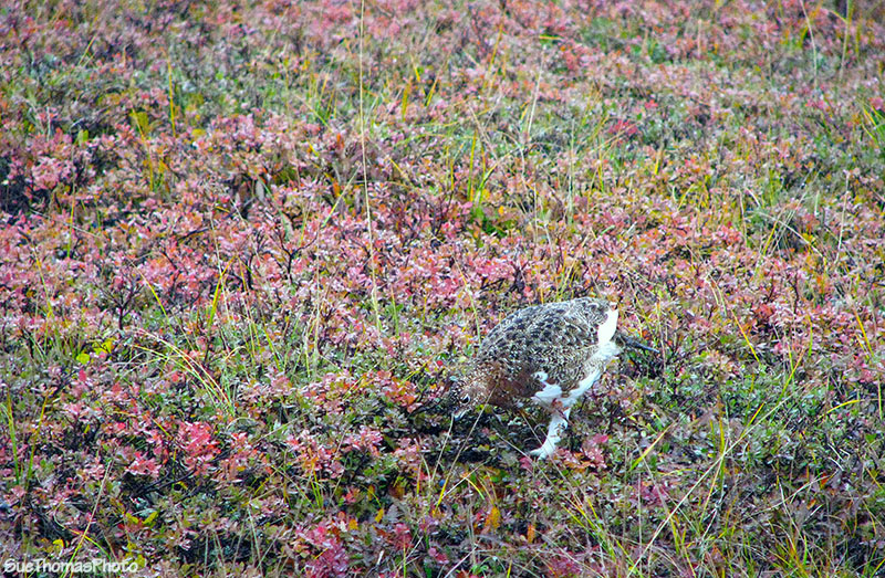 Willow grouse (willow ptarmigan) at Denali National Park, Alaska