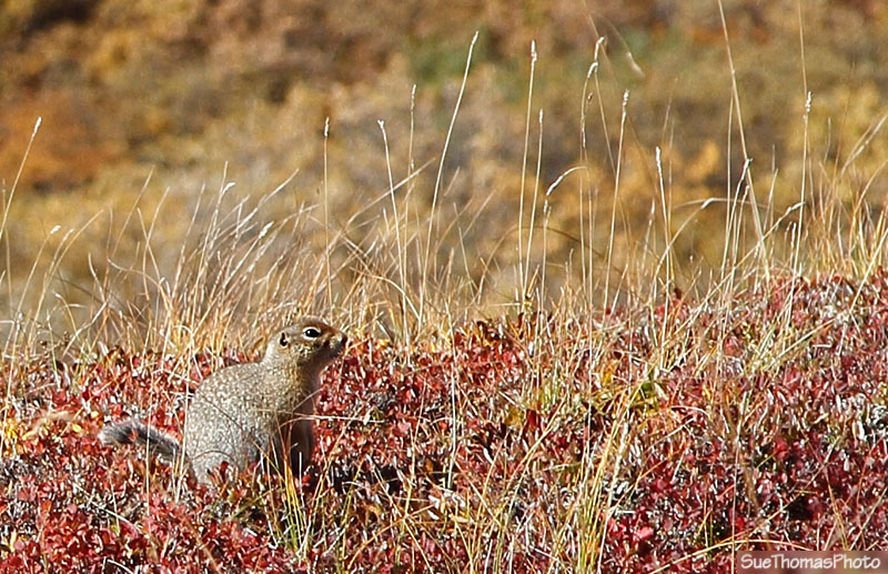 Ground Squirrel at Denali National Park, Alaska