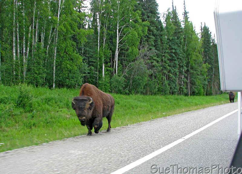 Bison walking along the Alaska Highway