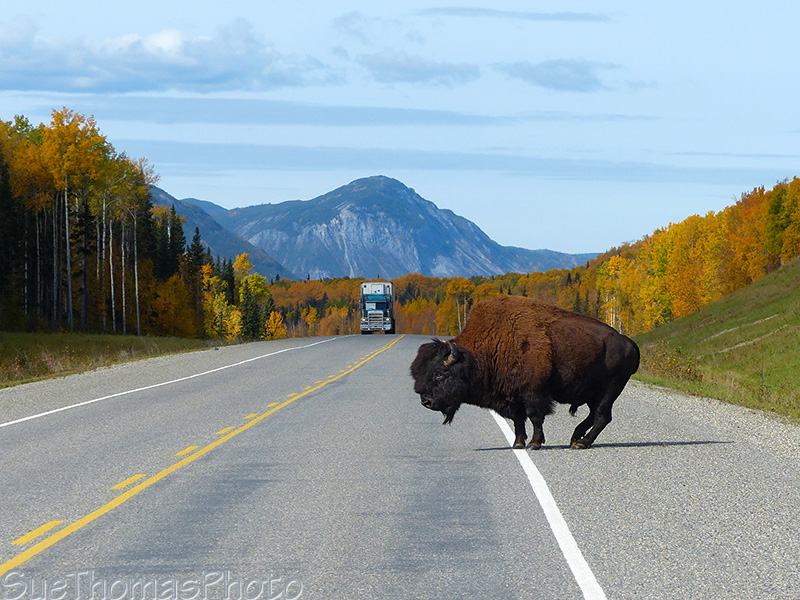 Bison crossing Alaska HIghway
