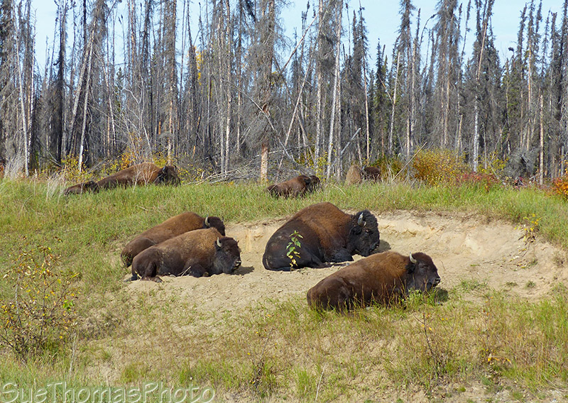 Bison resting beside the Alaska Highway