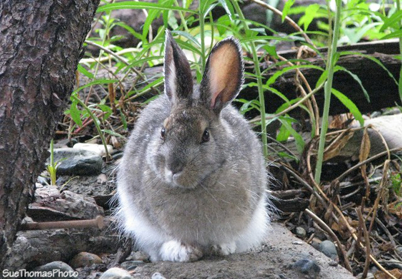 Rabbit at Silver City