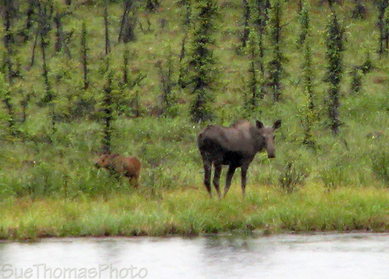 Moose between Snag and White River, Yukon