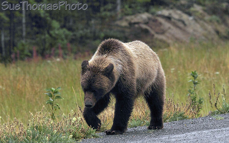 Grizzly on Alaska Highway