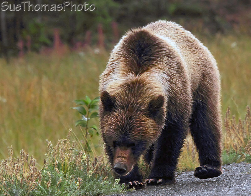 Grizzly bear on Alaska Highway