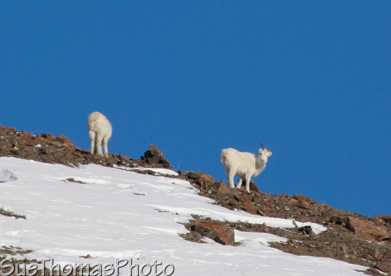 Dall's Sheep on Sheep Mountain