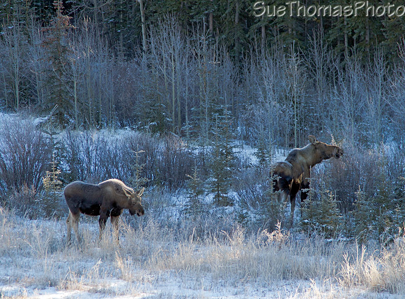 Cow moose with her calf