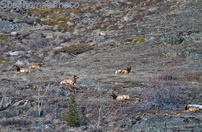 Elk on a south facing hill