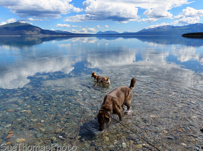 Dogs enjoying a dip in Kluane Lake