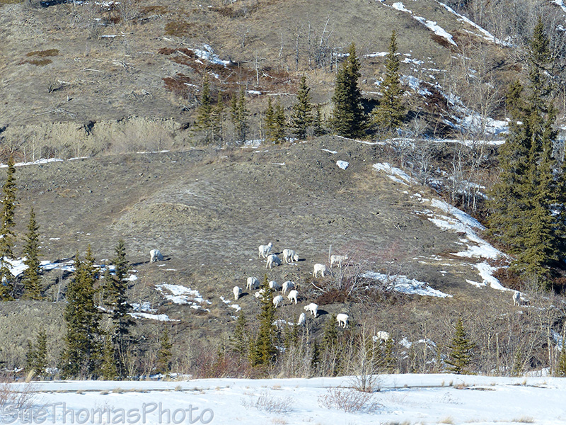 Dall Sheep in winter on Sheep Mountain