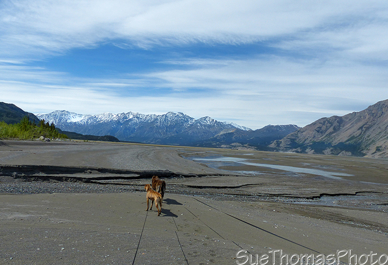 The dogs on the south shore of Kluane Lake, looking west