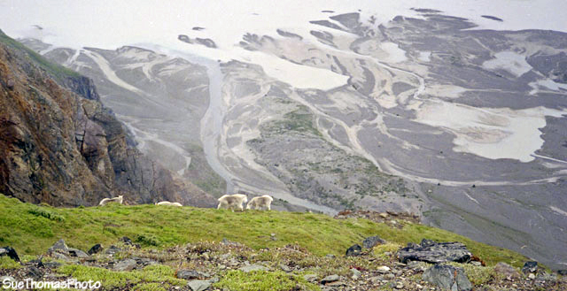 Mountain goats on Goatherd Mountain, Alsek River