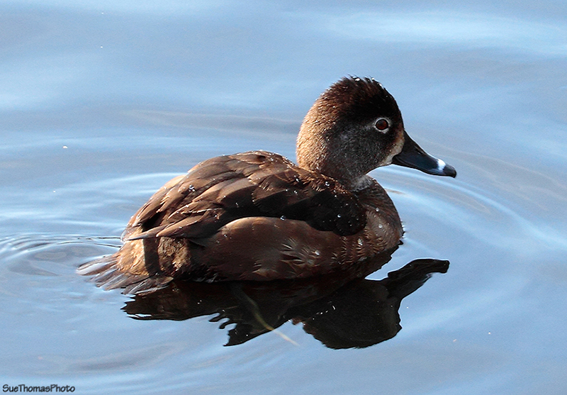 Ringed Duck, Kings Pond, Victoria, BC