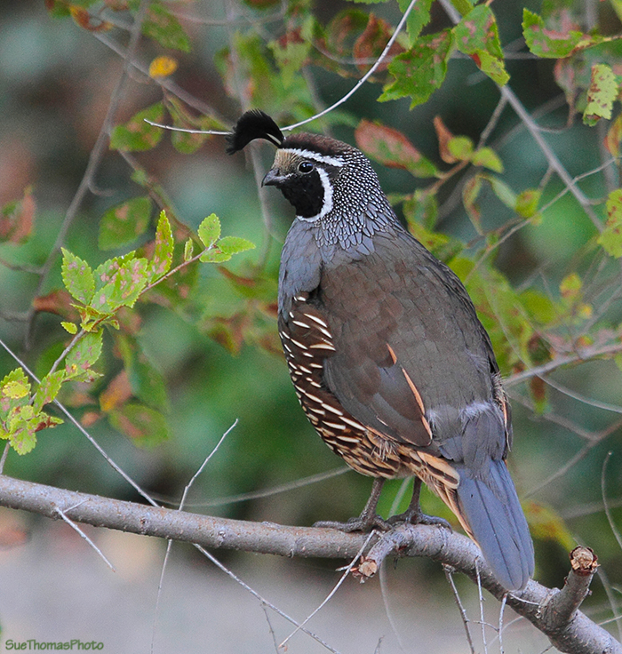 California Quail at Osoyoos, B.C.