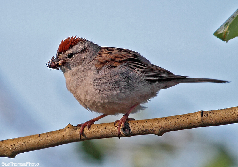 Chipping Sparrow in Yukon