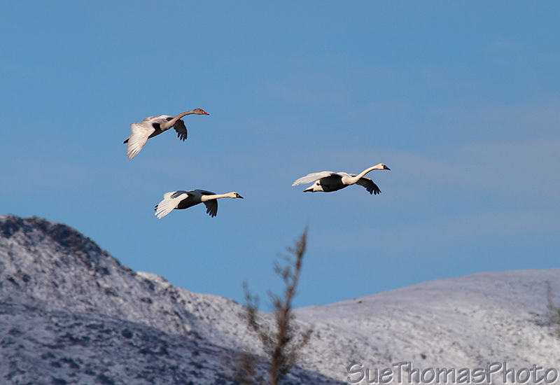 Tundra Swans in flight in Yukon
