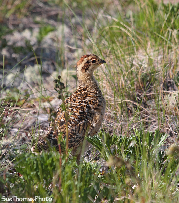 IMAGE: http://yukonsights.ca/images/Birds/20130713_WillowPtarmigan_074.jpg