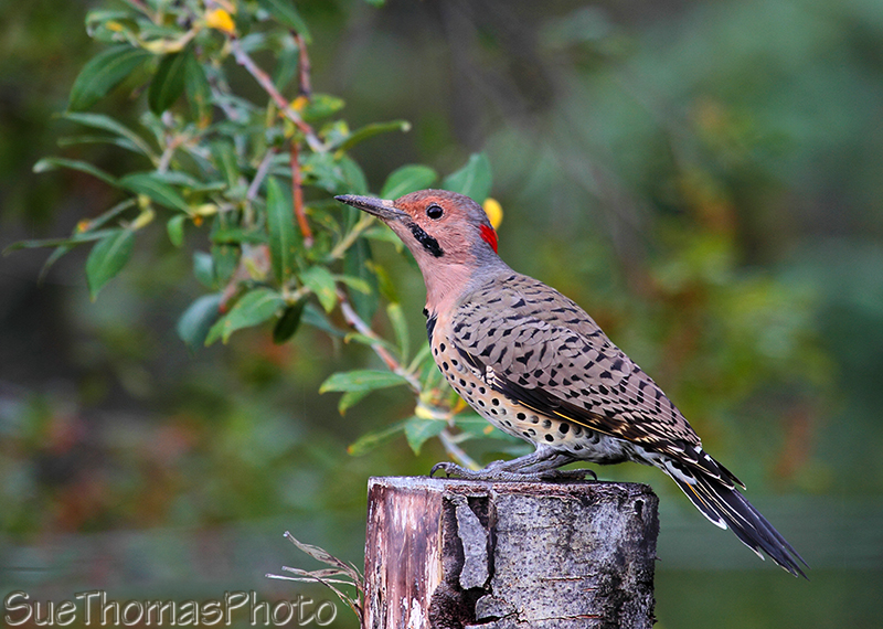 Northern Flicker in Yukon