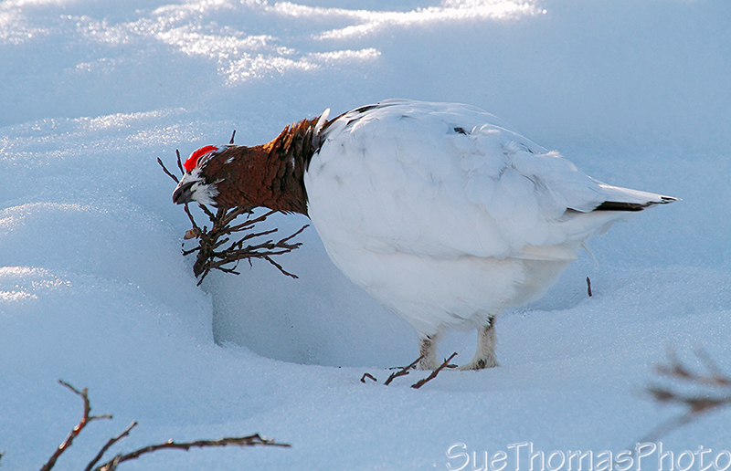 IMAGE: http://yukonsights.ca/images/Birds/20140507_WillowPtarmigan_527.jpg