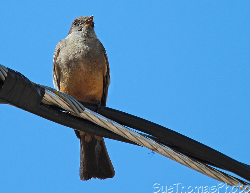 Flycatcher sitting on the power line