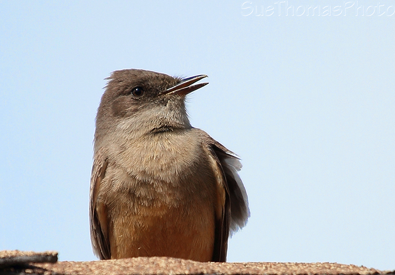 Flycatcher on the roof