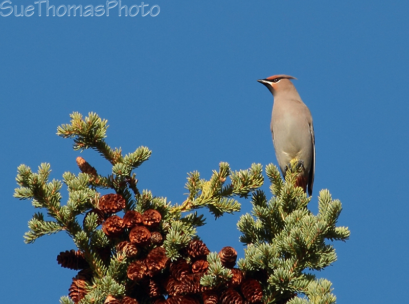 Bohemian Waxwing in a spruce tree