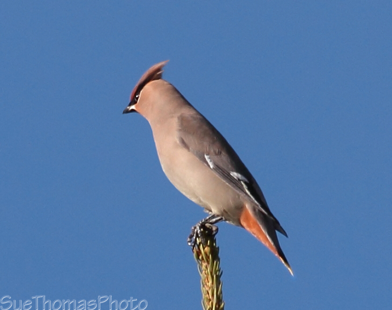 Bohemian Waxwing on a treetop