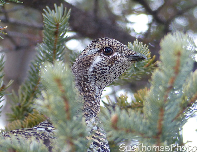 Spruce Grouse in Yukon