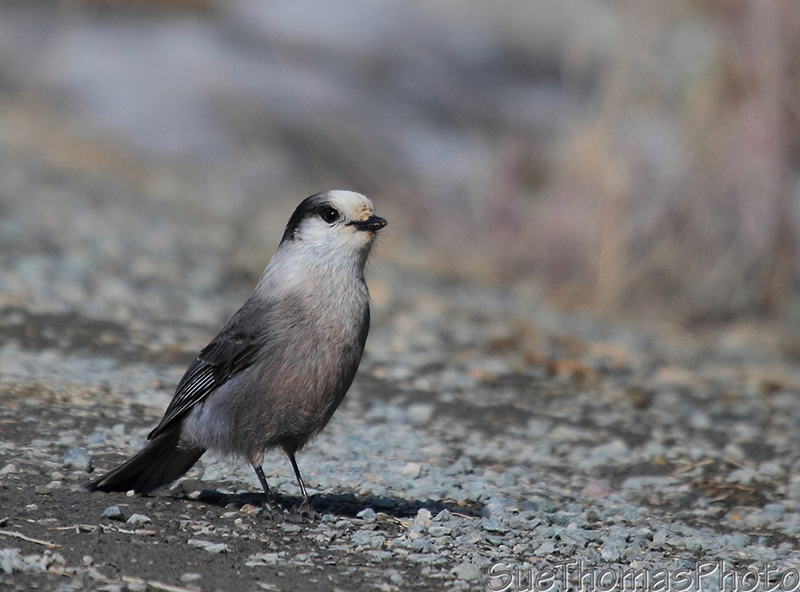 Gray Jay in Yukon
