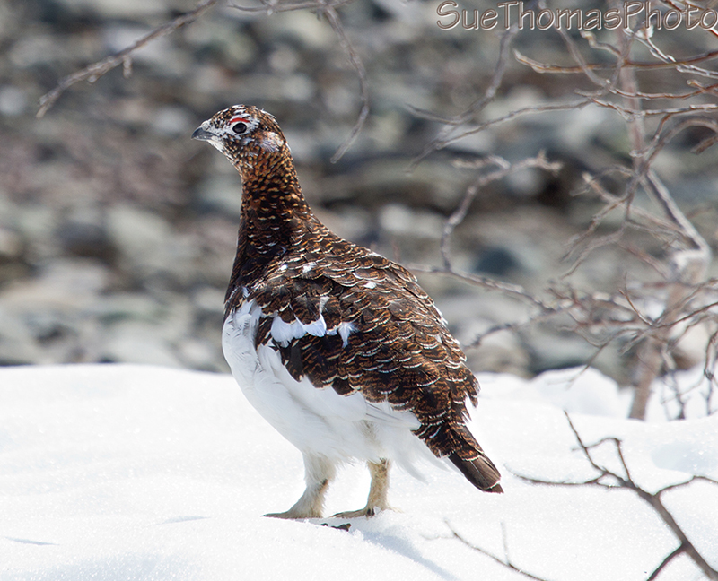 Female Willow Ptarmigan