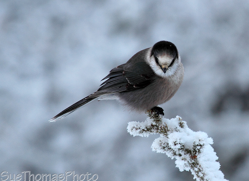 Gray jay in December