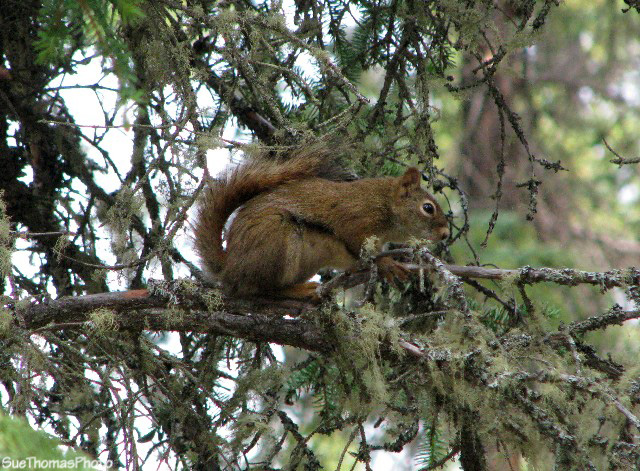 Squirrel at Tatchun Lake, Yukon
