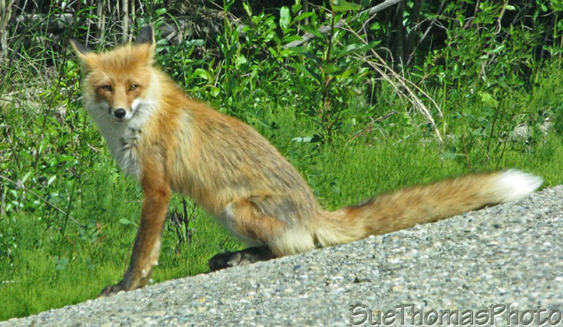 Red fox on Campell Highway, Yukon