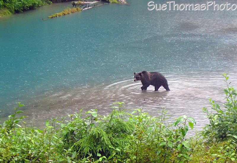 Grizzly at Fish Creek near Hyder AK