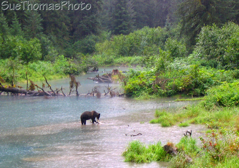 Grizzly at Fish Creek near Hyder Alaska