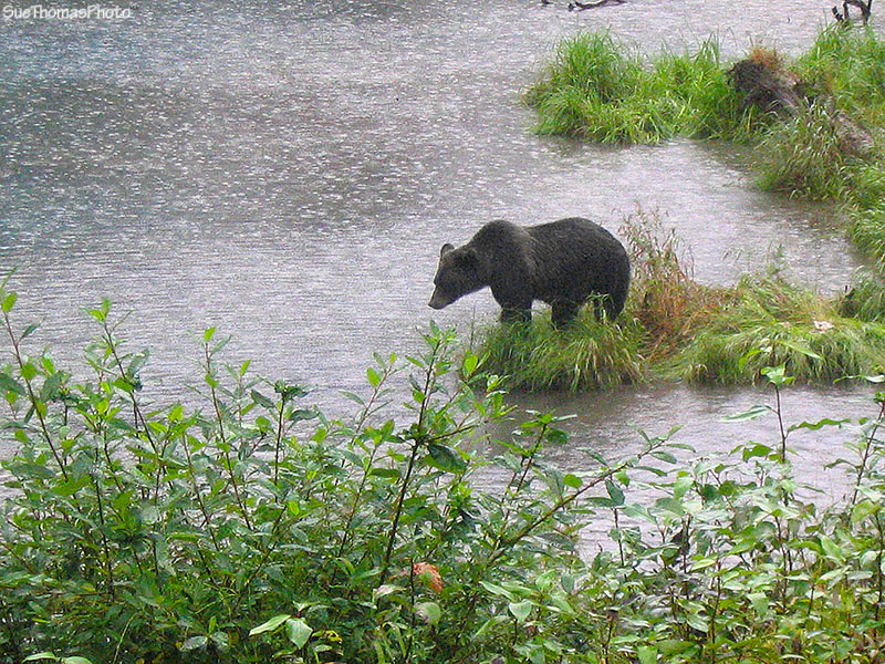 Grizzly at Fish Creek, Hyder, Alaska