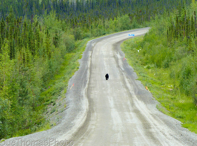 Black bear on the Dempster Highway