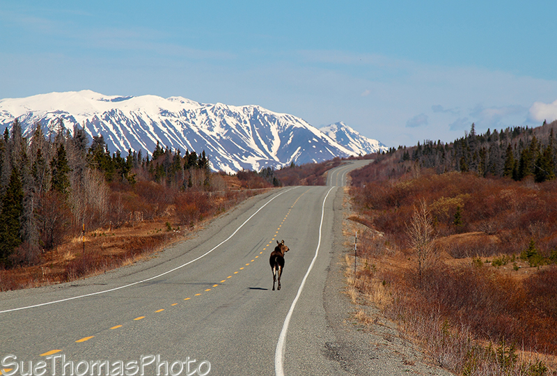 Moose on the Haines Road