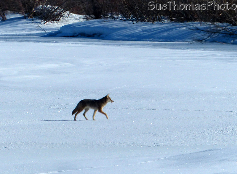 Coyote on the Dezadeash River, Haines Junction