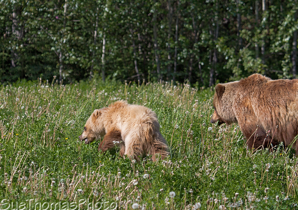 Grizzly sow with cub