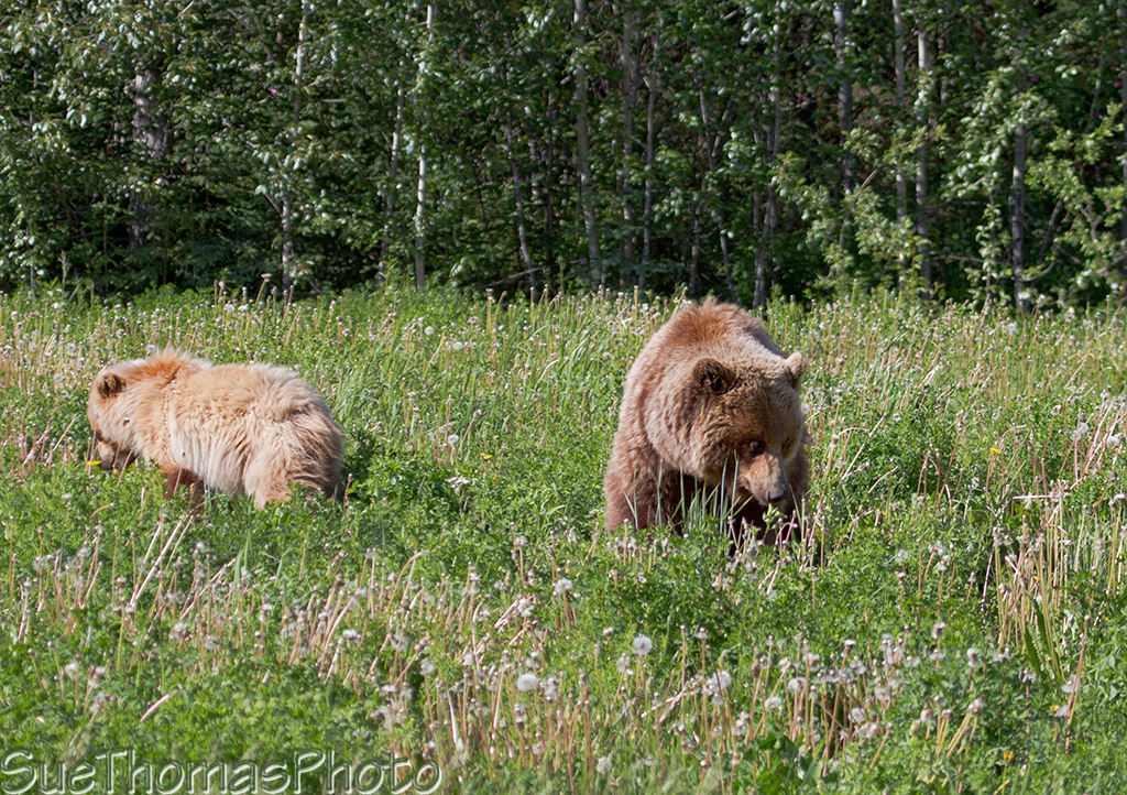 Grizzly sow with two cubs along the Alaska Highway