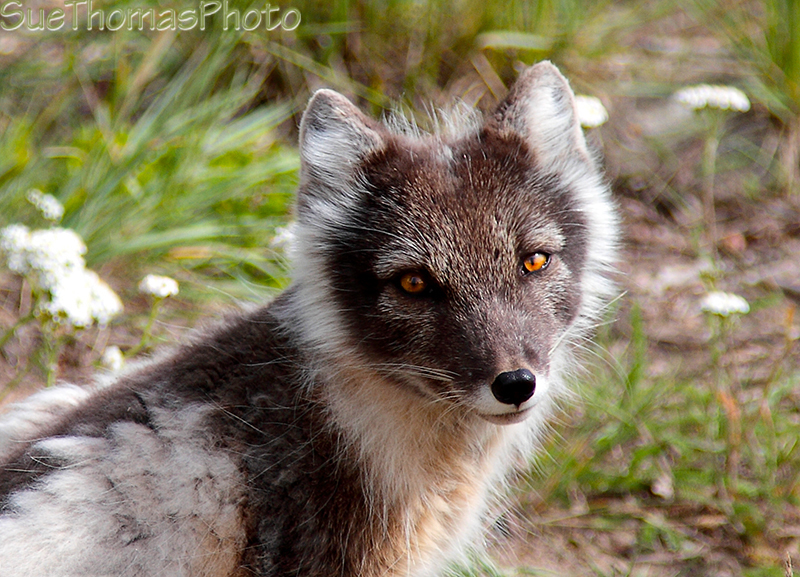 Arctic Fox changing color in spring