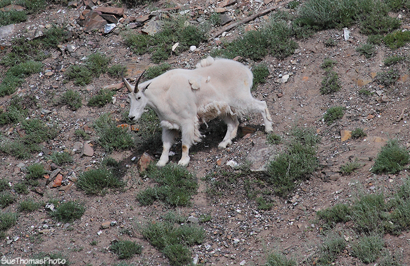 Moutain Goat